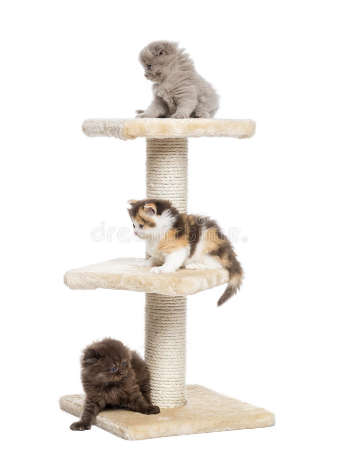 Highland fold or straight kittens playing on a cat tree. Isolated on white royalty free stock images