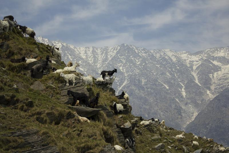 Highland goats in the snow mountains stock photography