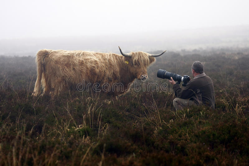 Highland Highlight. Highland cow investigating the man behind the lense royalty free stock photo