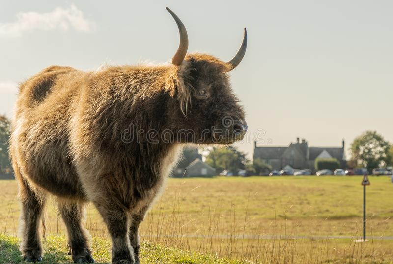 Highland Long Horn grazing on Minchinhampton Common, Stroud. Highland Long Horn on Minchinhampton Common near Stroud in the county of Gloucestershire, England royalty free stock images