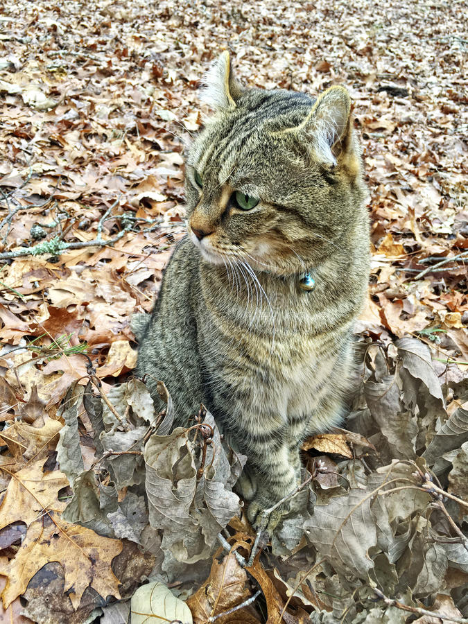 Highland Lynx Cat in Autumn Leaves royalty free stock images