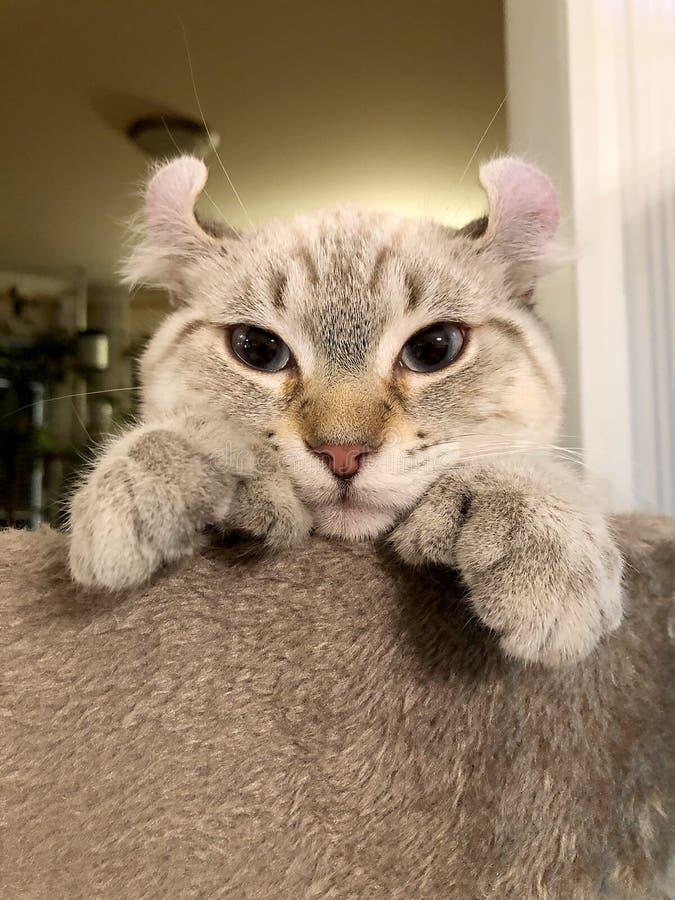 Highland Lynx kitten on cat tree royalty free stock photography