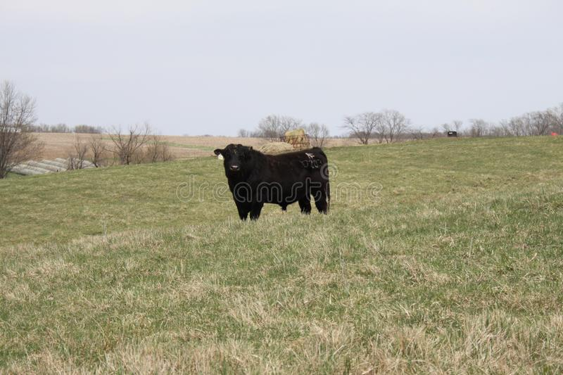 Down on the Farm 2019 I. Highland Productions LLC Darren Dwayne Frazier   Black Angus I am not sure this is your next New York Strip; but what are you looking at royalty free stock images