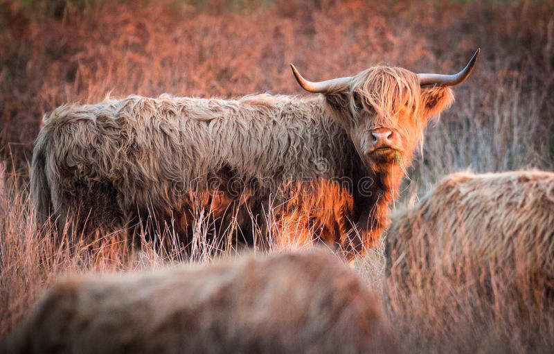 Highland red cattle. In evening light stock photo