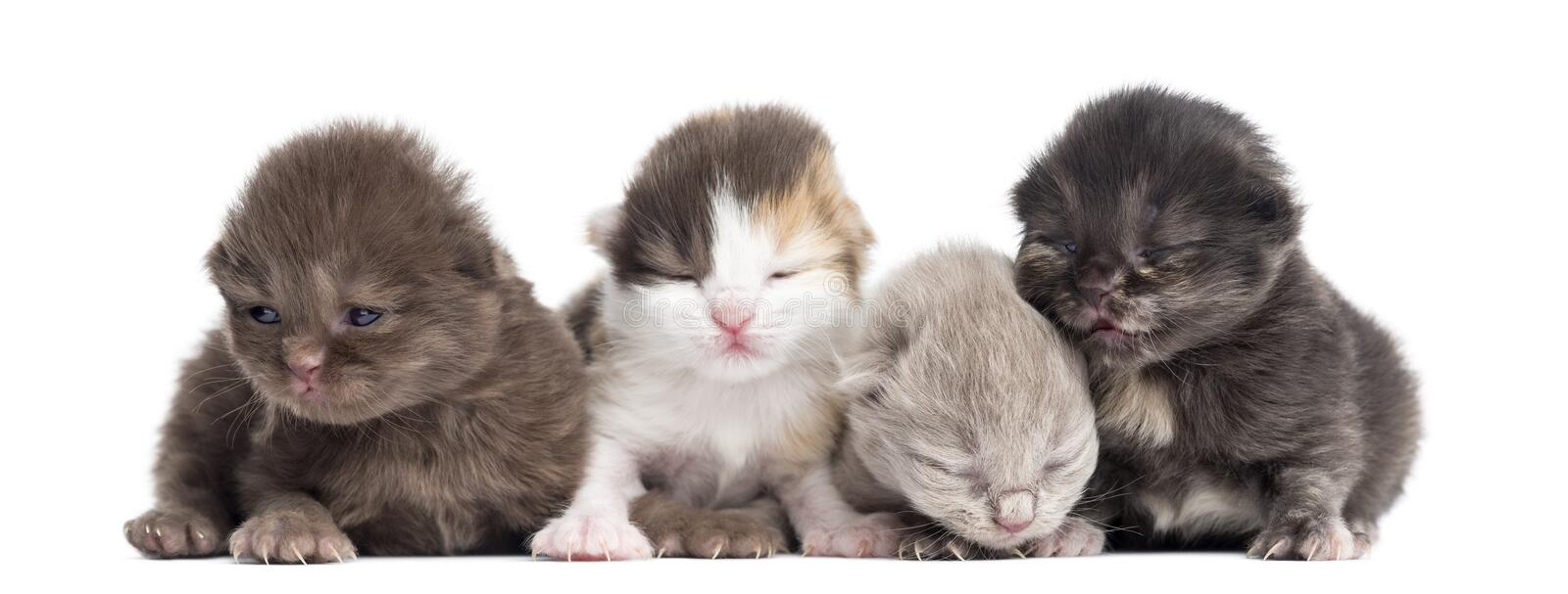 Highland straight or fold kittens in a row, 1 week old, isolated stock image
