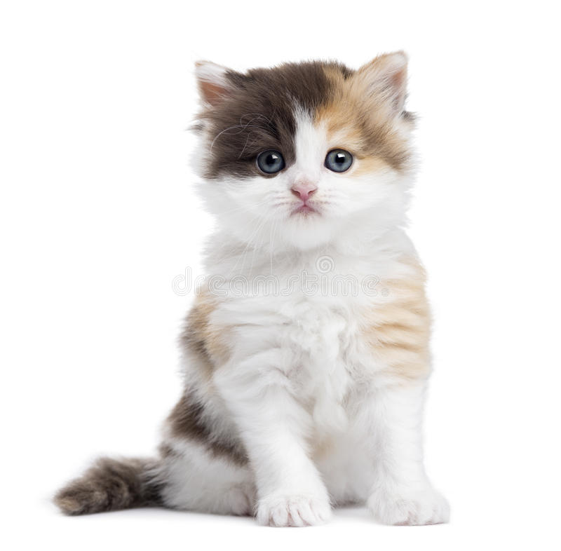 Free Highland Straight Kitten Sitting, Looking At The Camera Stock Images - 34775124