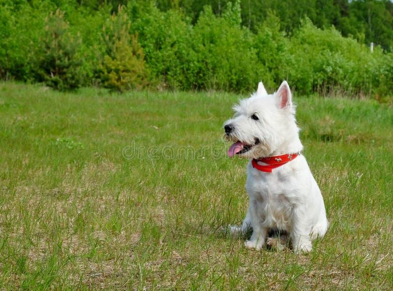 highland teriera na zachód white zdjęcie stock