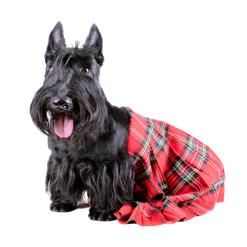 Highlander dog royalty free stock photo