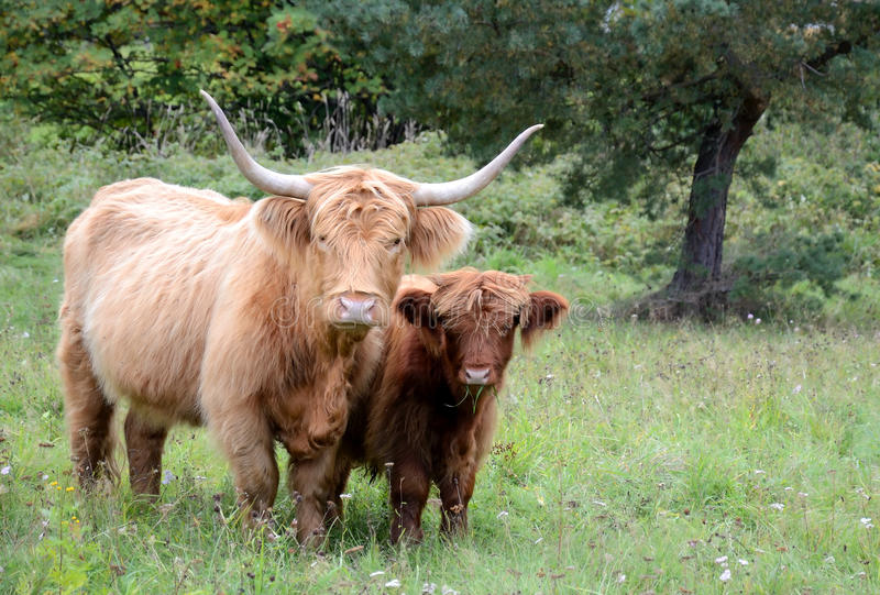 Highlands Cattle Stock Photography