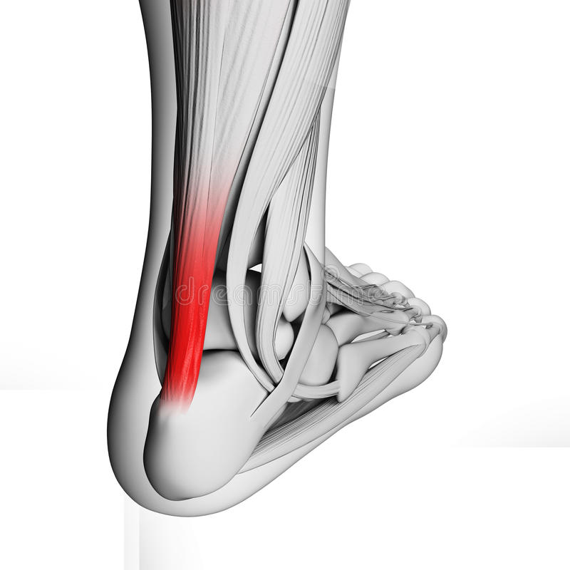 Highlighted achilles tendon vector illustration