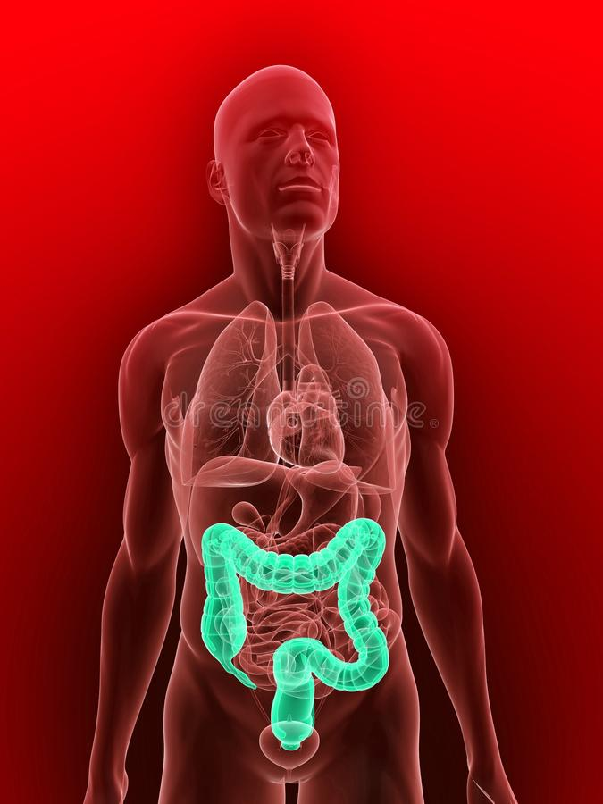 Highlighted colon vector illustration