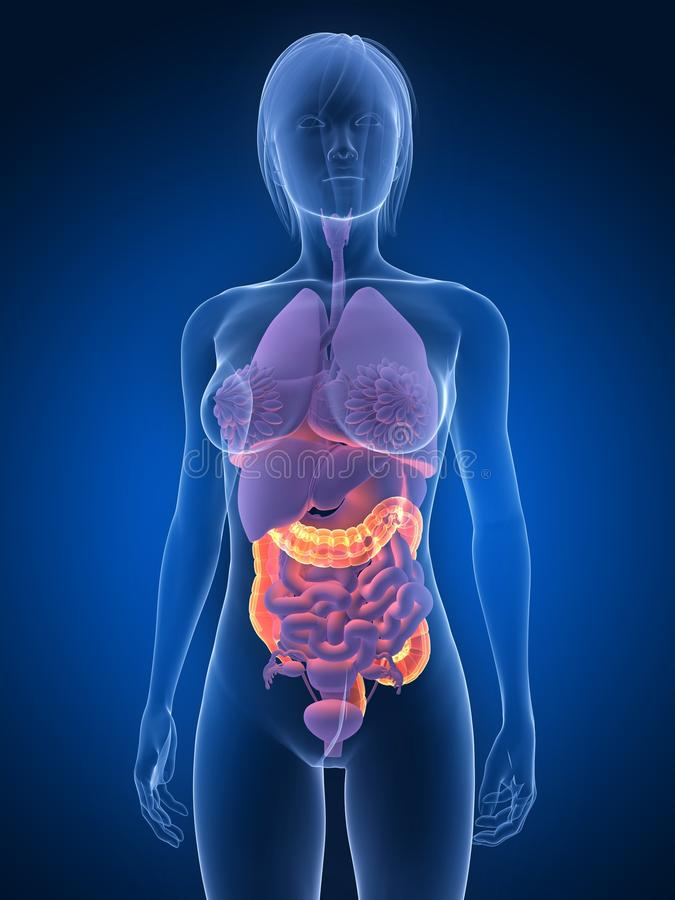 Highlighted Colon Stock Photography