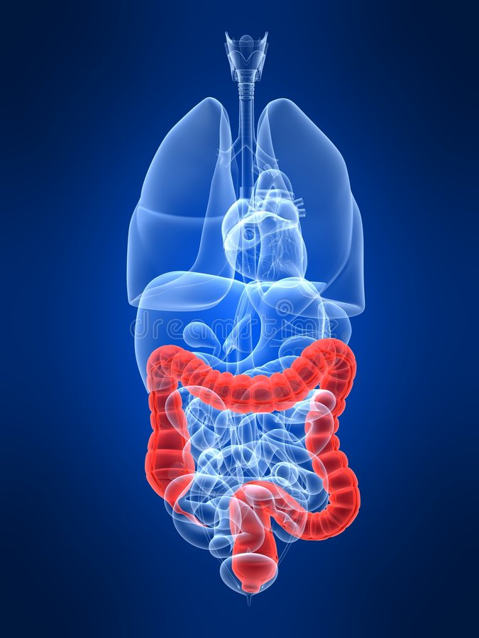 Highlighted colon. 3d rendered anatomy illustration of human organs with highlighted colon royalty free illustration
