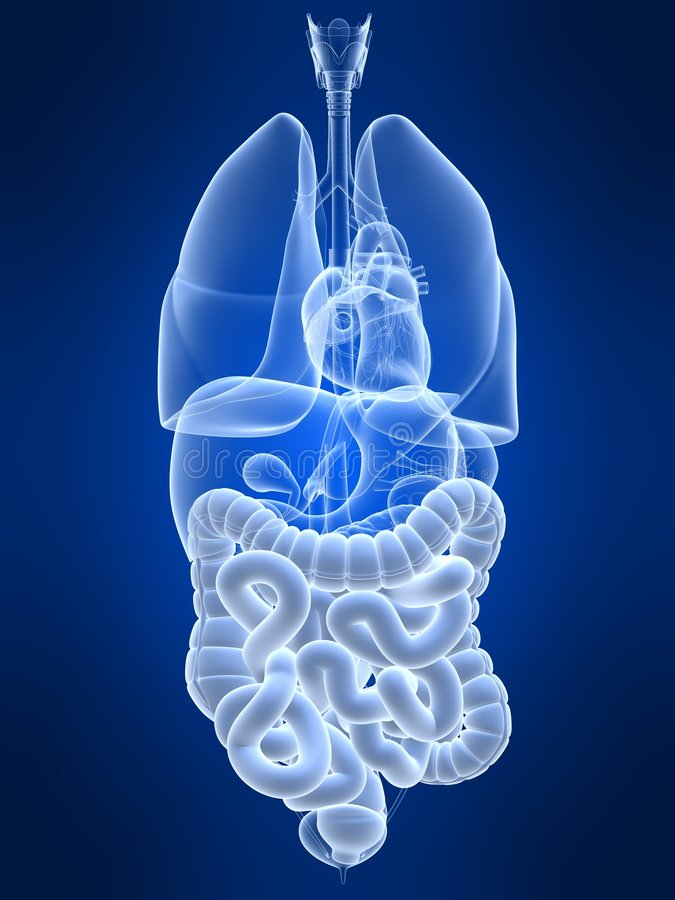 Highlighted colon and intestines royalty free illustration