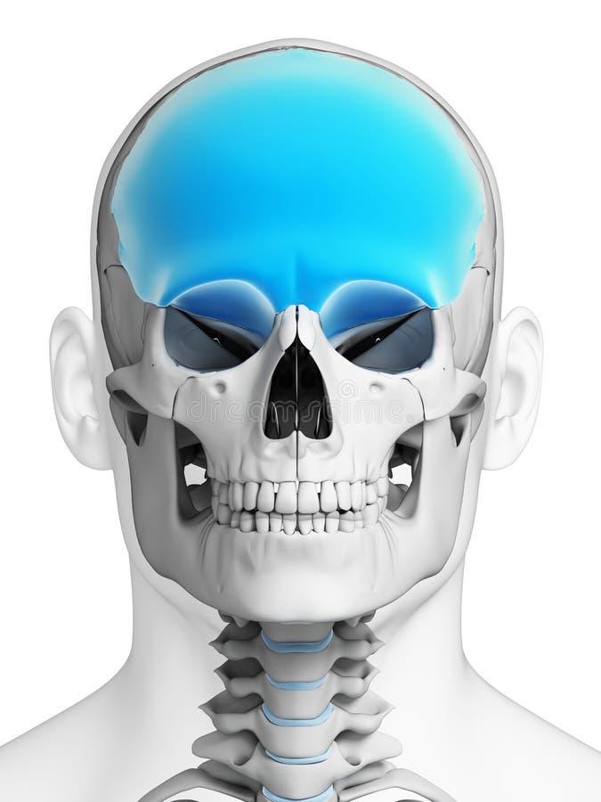 Highlighted frontal bone stock illustration. Illustration of anatomy ...
