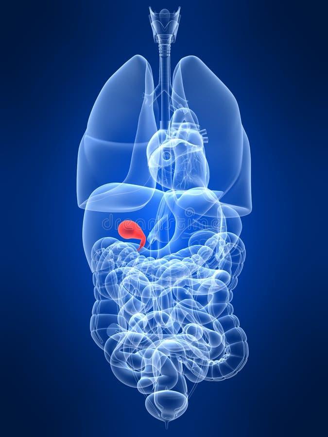 Highlighted gall bladder vector illustration