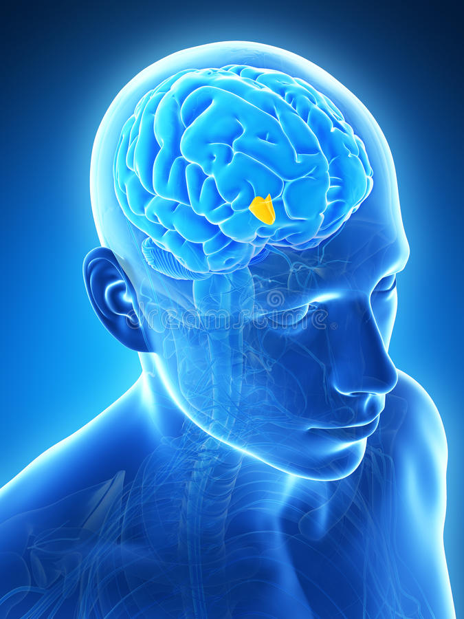Download Highlighted hypothalamus stock illustration. Image of lateral - 30723561