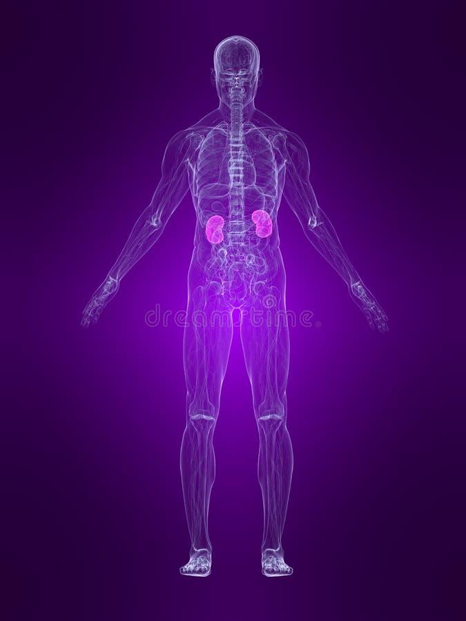 Highlighted kidneys