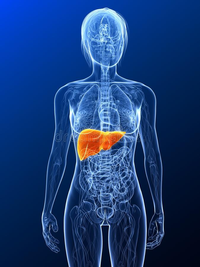 Highlighted Liver Royalty Free Stock Photos