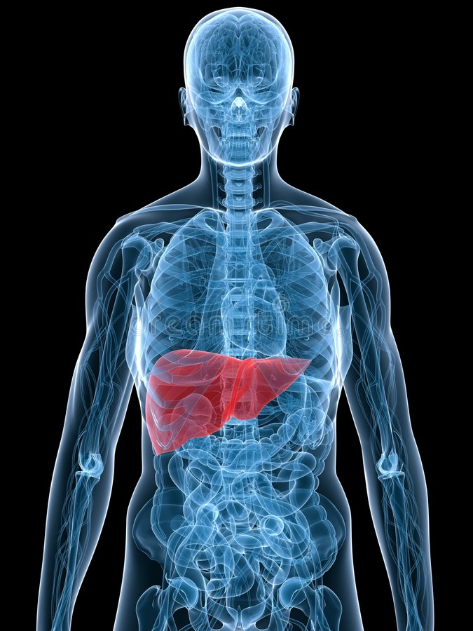 Highlighted liver stock photography