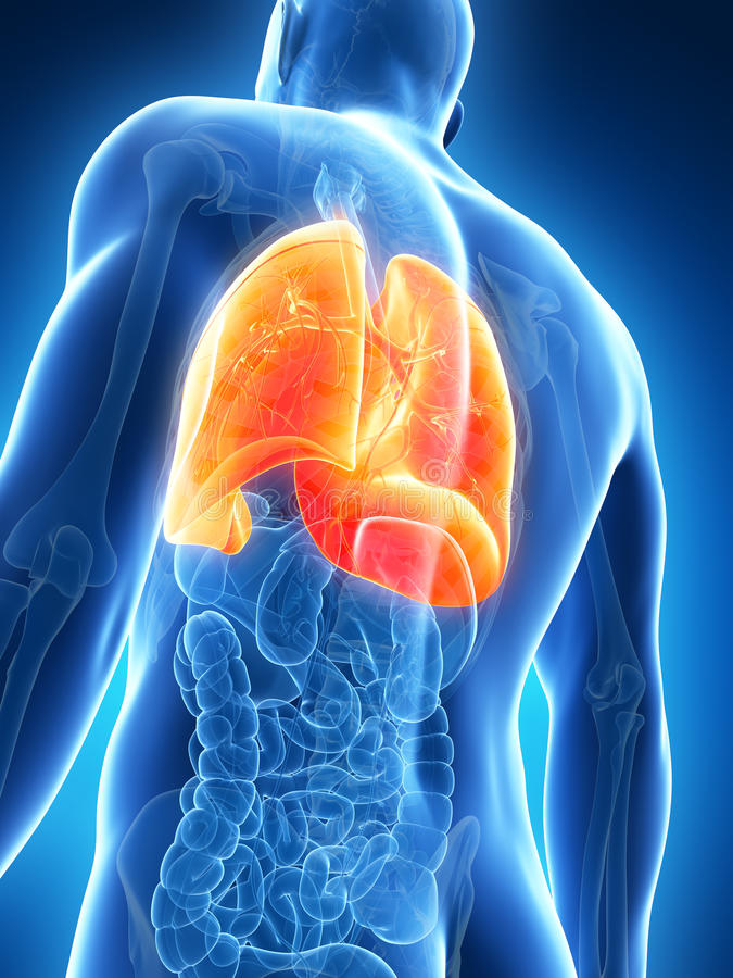 Highlighted male lung royalty free illustration