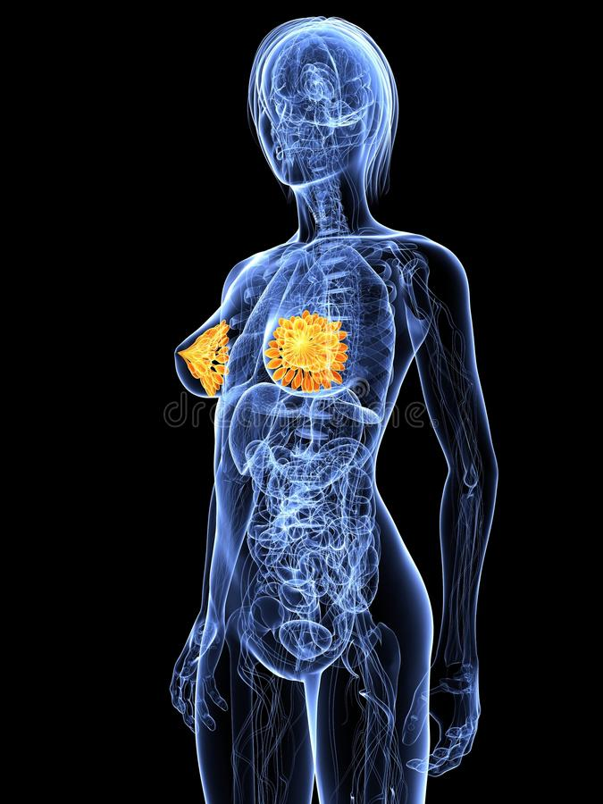 Highlighted mammary glands royalty free illustration