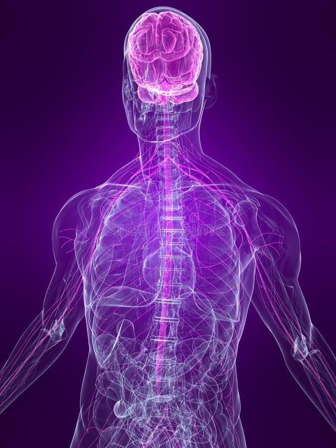 Highlighted nervous system royalty free illustration