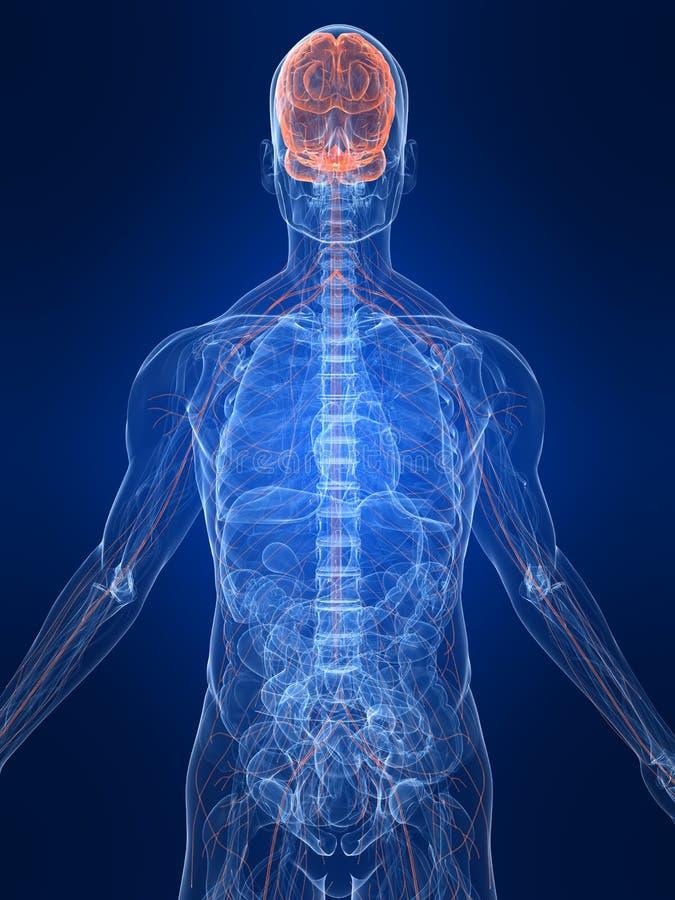 Highlighted nervous system vector illustration