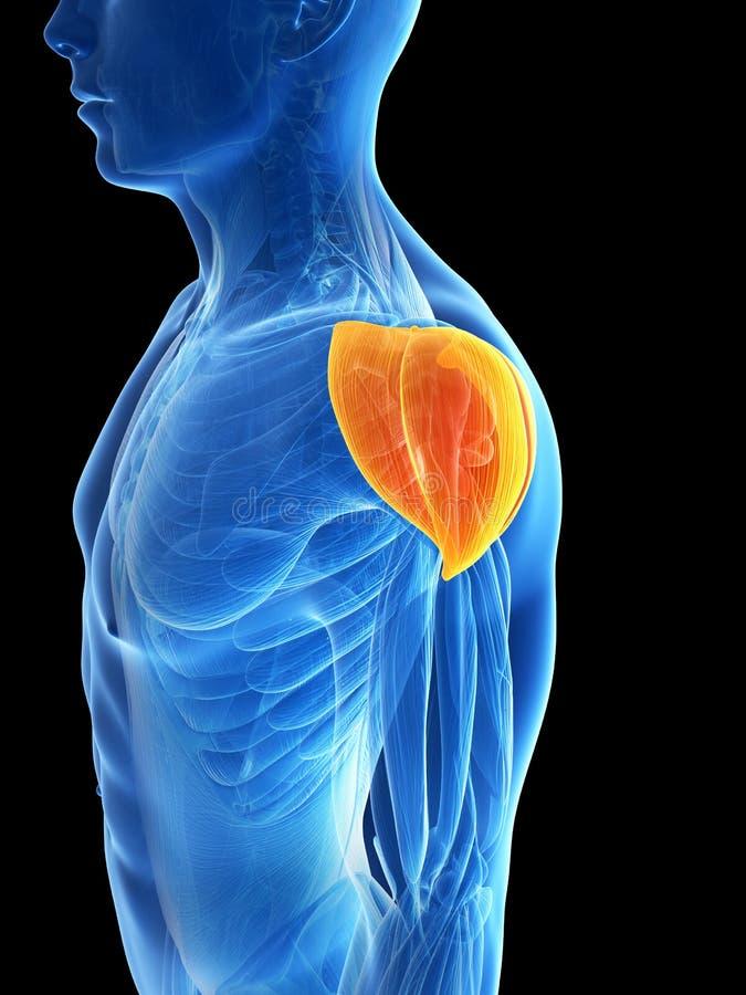 Highlighted Shoulder Muscle Stock Illustration Illustration Of