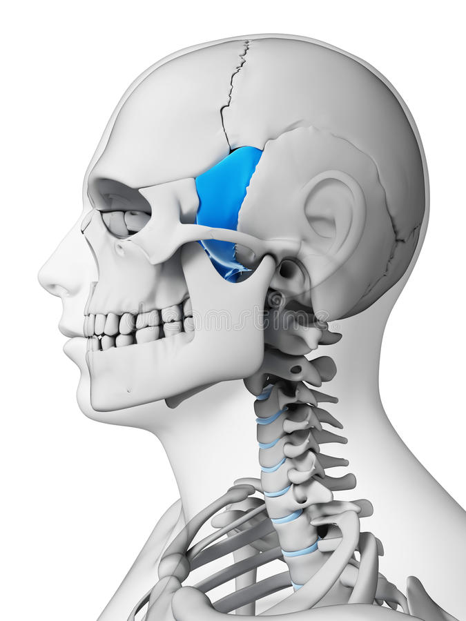 Highlighted sphenoid bone stock illustration. Illustration of ...