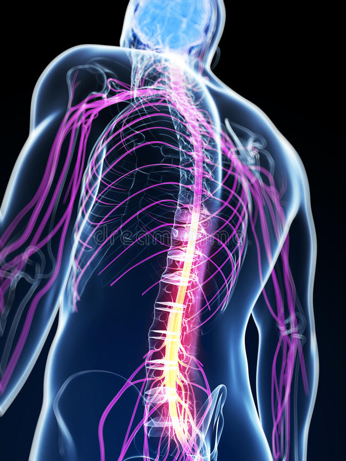 Highlighted spinal cord stock illustration