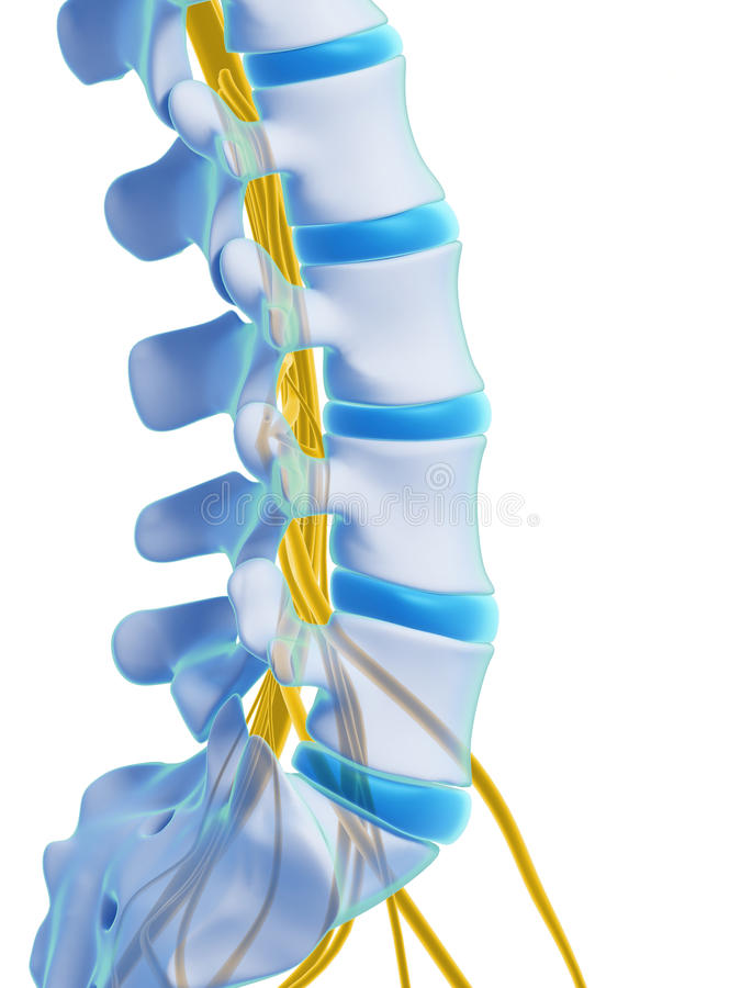 Free Highlighted Spinal Cord Royalty Free Stock Image - 30722586