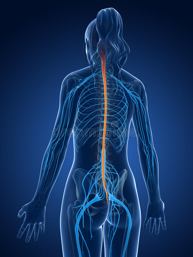 Highlighted spinal cord royalty free illustration