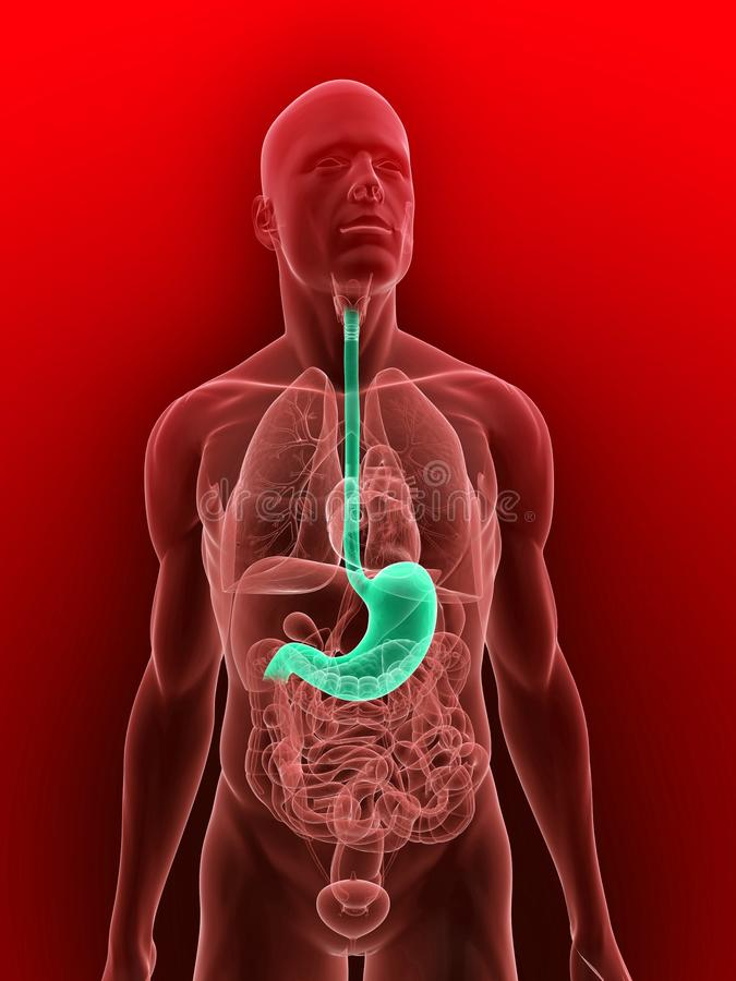 Download Highlighted Stomach Royalty Free Stock Images - Image: 11898129