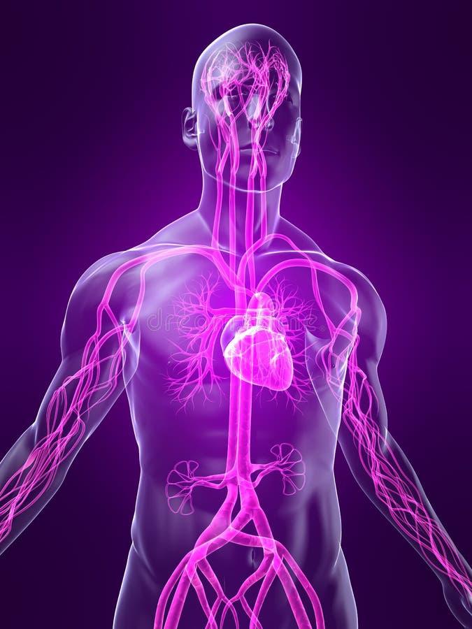 Highlighted vascular system vector illustration