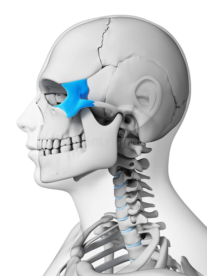 Highlighted zygomatic bone stock illustration. Illustration of shape ...