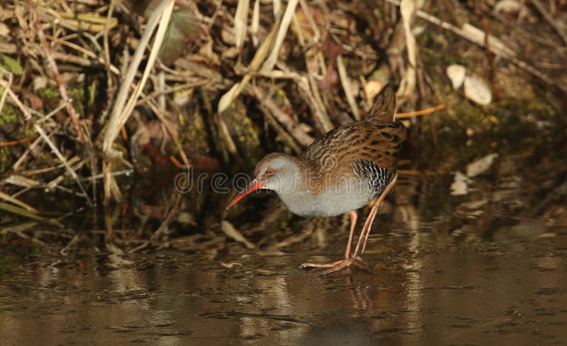 A highly secretive Water Rail Rallus aquaticus an inhabitant of freshwater wetlands. royalty free stock photo