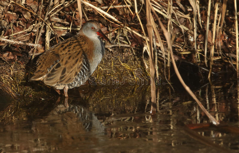 A highly secretive Water Rail Rallus aquaticus an inhabitant of freshwater wetlands. stock image