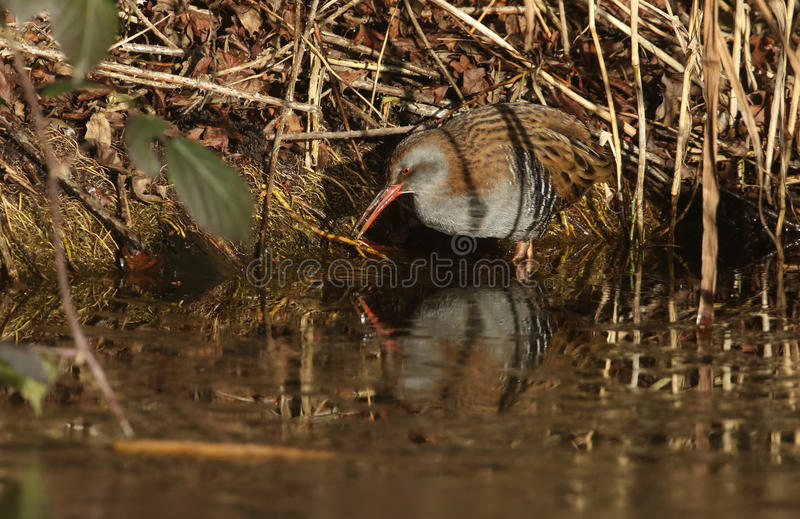Download A Highly Secretive Water Rail Rallus Aquaticus An Inhabitant Of Freshwater Wetlands. Stock Photo - Image: 83710108