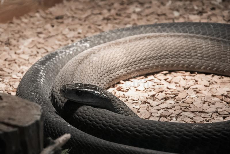 Highly venomous snake - Black Mamba in terrarium. Highly venomous coiled snake - Black Mamba in terrarium stock photos