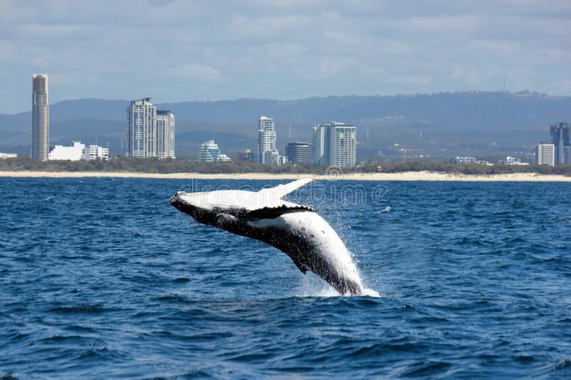 Highrises and breaching Humpback stock photo
