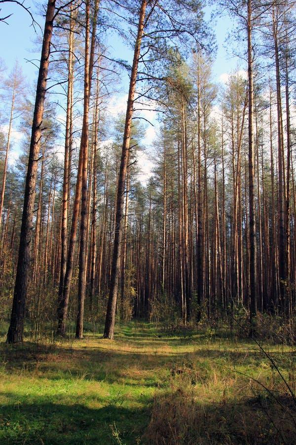 Hight绿色直接森林杉树在杉木前面边缘站立  免版税库存图片