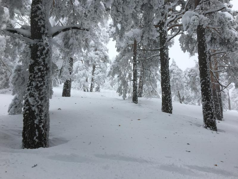 The hight snow trees in the forest. After the storm stock image