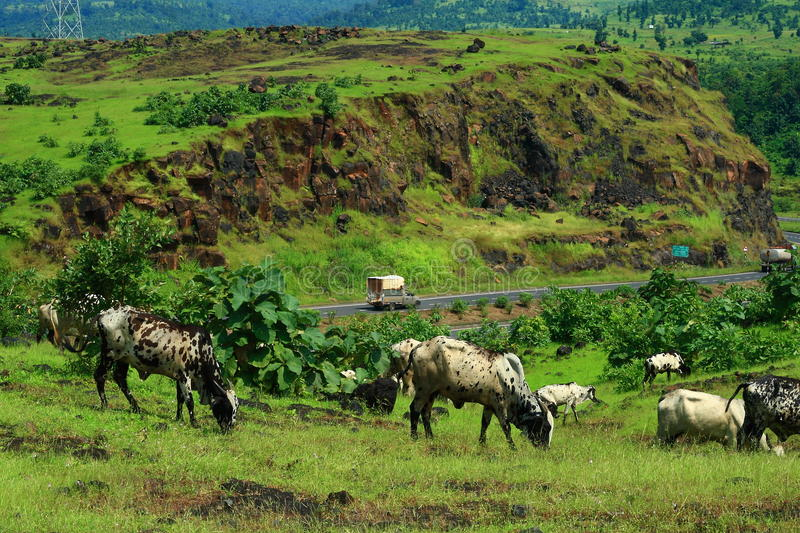 Highway and cattle