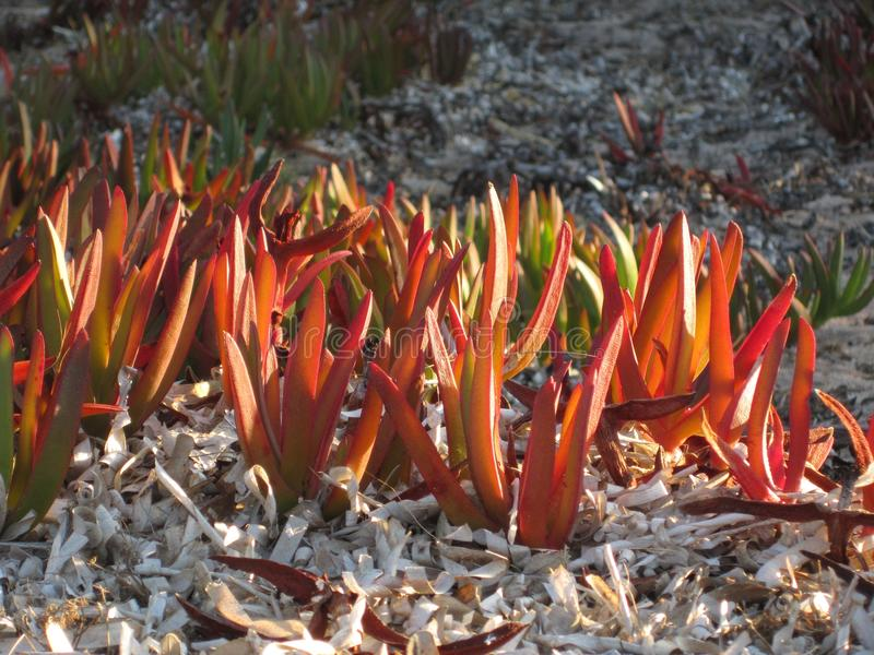 Highway iceplant or Hottentot-fig on the beach. Carpobrotus edulis is an invasive plant but very beautiful. Even when it is not in bloom the leaves look like royalty free stock photo