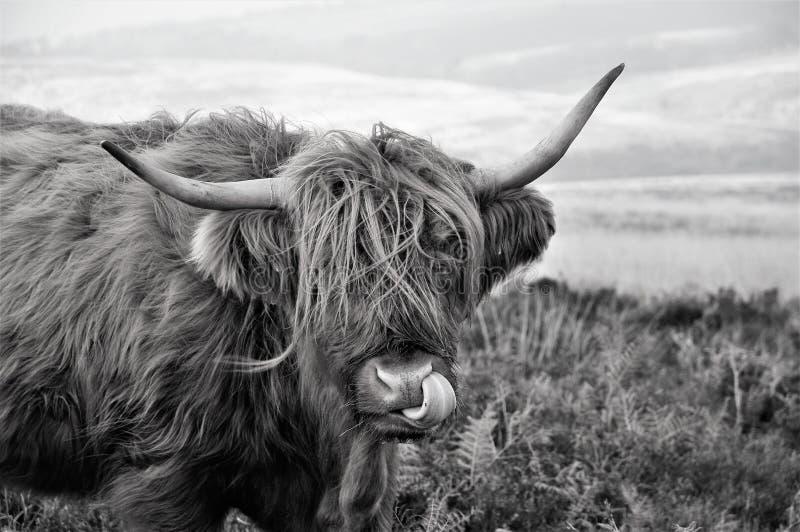 Higiene pessoal de uma vaca escocesa das montanhas que vive no charneca imagens de stock royalty free