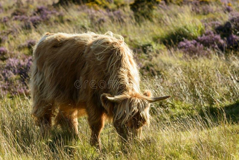 Higland bydła pasanie w cumującym, Dartmoor zdjęcie stock