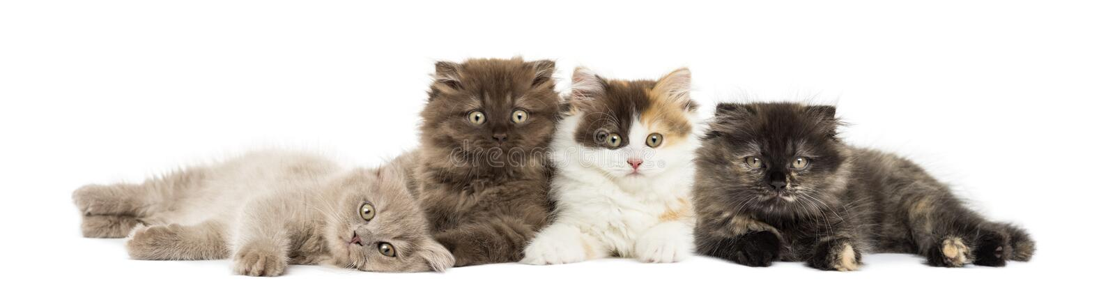 Higland straight and fold kittens lying together. Looking at the camera, isolated on white stock image