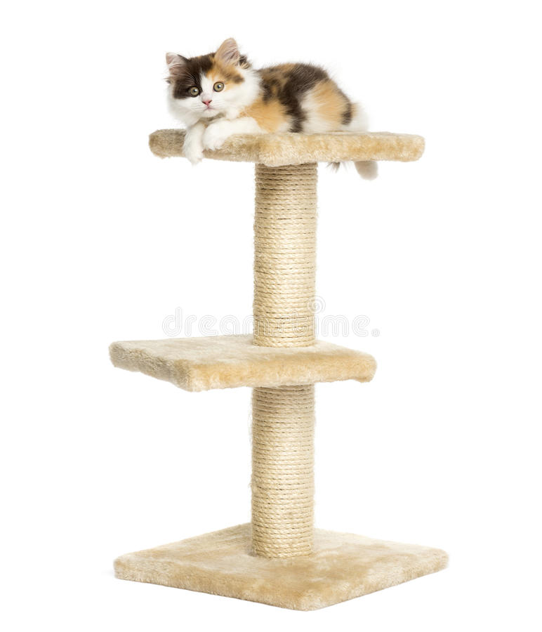 Higland straight kitten on top of a cat tree, isolated stock image