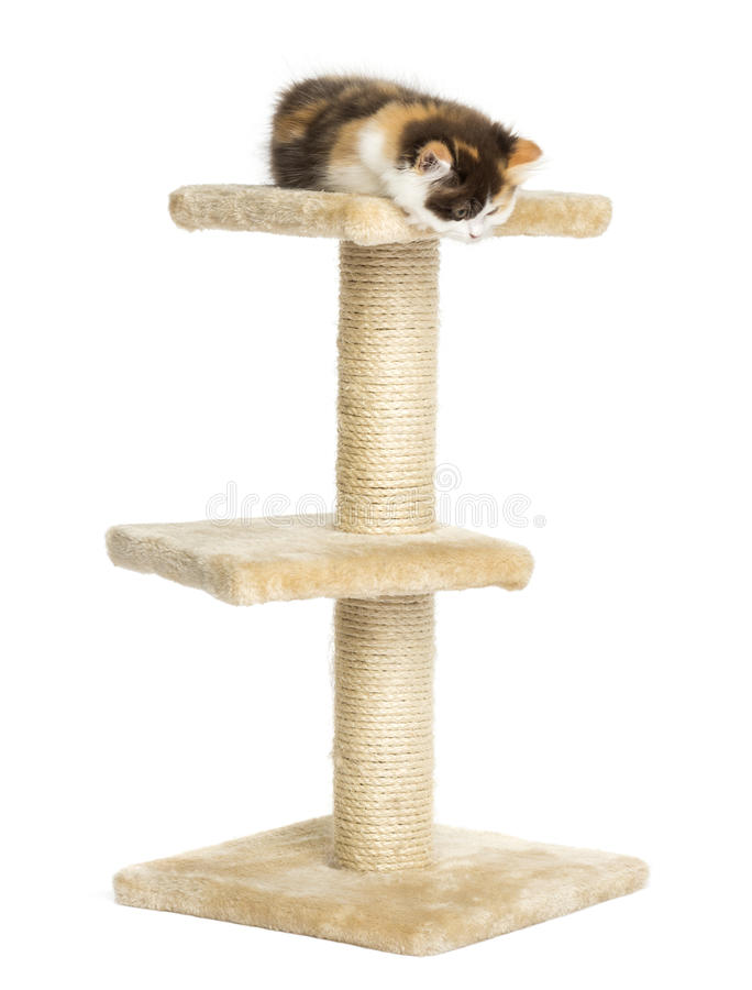 Higland straight kitten on top of a cat tree, looking down royalty free stock photography